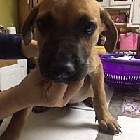 Adopt A Pet :: HANCOCK 10 WK SHEPHERD MALE - Mesa, AZ