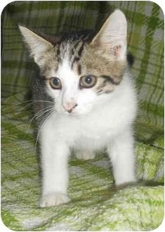 Domestic Shorthair Kitten for adoption in Honesdale, Pennsylvania - Gilmore