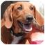 Photo 3 - Redbone Coonhound Puppy for adoption in El Segundo, California - Bonnie Boo