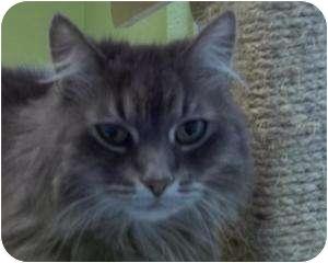 Domestic Longhair Cat for adoption in Barron, Wisconsin - Katie
