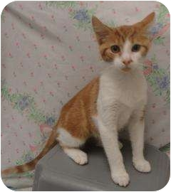 Domestic Shorthair Kitten for adoption in Spruce Pine, North Carolina - July