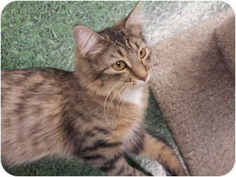 Maine Coon Cat for adoption in Chandler, Arizona - Baby