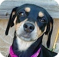 Dachshund Mix Dog for adoption in Kingwood, Texas - Nelly