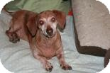 Dachshund Dog for adoption in Quentin, Pennsylvania - George - (Pending Adoption)