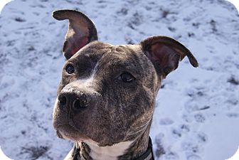 American Pit Bull Terrier Dog for adoption in Chicago, Illinois - DIVA