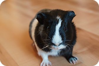Guinea Pig for adoption in Brooklyn Park, Minnesota - Rocket