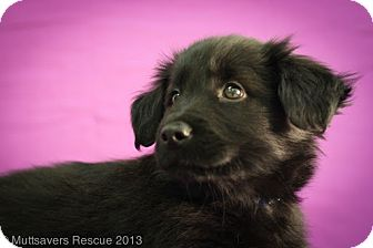 Shih Tzu/Shepherd (Unknown Type) Mix Puppy for adoption in Broomfield, Colorado - Romeo