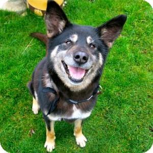 Border Collie/German Shepherd Dog Mix Dog for adoption in Victoria, British Columbia - Chewie