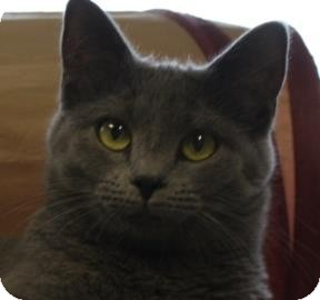 Domestic Shorthair Cat for adoption in West Des Moines, Iowa - Little Smokey
