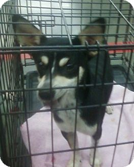 Chihuahua/Rat Terrier Mix Dog for adoption in Spencer County, Indiana - Buster