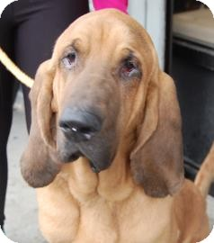 Bloodhound Mix Dog for adoption in Brooklyn, New York - Duke