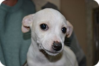 Chihuahua/Dachshund Mix Puppy for adoption in Mt Sterling, Kentucky - Ellie