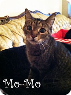 Domestic Shorthair Cat for adoption in Arlington/Ft Worth, Texas - Mo-Mo