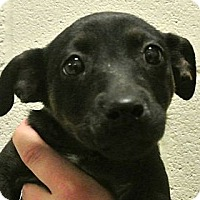 Adopt A Pet :: Violet - white settlment, TX