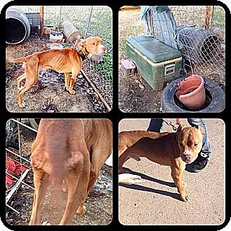 Pit Bull Terrier Mix Dog for adoption in Blanchard, Oklahoma - Chester