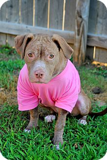 Pit Bull Terrier/American Staffordshire Terrier Mix Dog for adoption in College Station, Texas - Suri