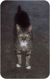 American Shorthair Cat for adoption in Riverview, Florida - Blou