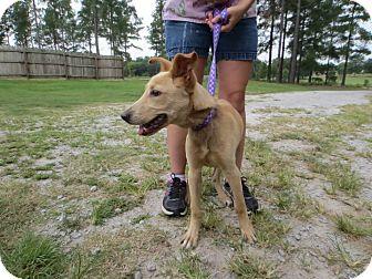 Labrador Retriever/Hound (Unknown Type) Mix Dog for adoption in Shelter Island, New York - Abbott