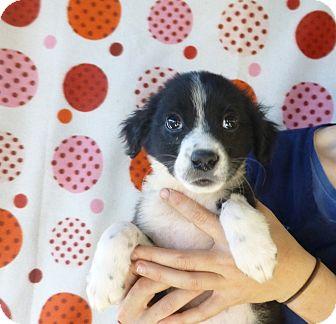 Sheltie, Shetland Sheepdog Mix Puppy for adoption in Oviedo, Florida - Sara