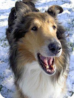 Collie Dog for adoption in Toronto, Ontario - Brandy