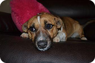 Corgi/Jack Russell Terrier Mix Dog for adoption in Marietta, Georgia - Puffin
