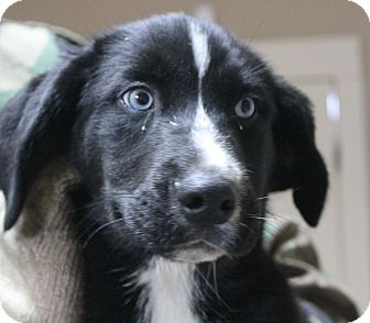 Labrador Retriever/Husky Mix Puppy for adoption in Mt Sterling, Kentucky - Francis