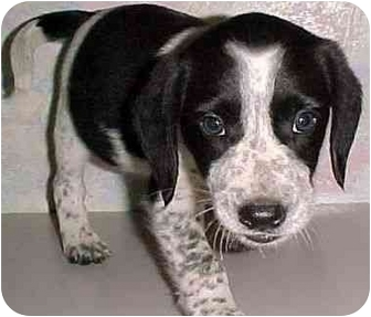 Beagle/Terrier (Unknown Type, Medium) Mix Puppy for adoption in North Judson, Indiana - Henry