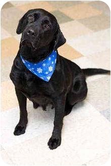 Labrador Retriever Dog for adoption in Portland, Oregon - Ellby