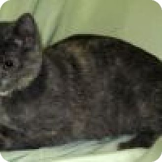 Domestic Shorthair Cat for adoption in Powell, Ohio - Wilamina