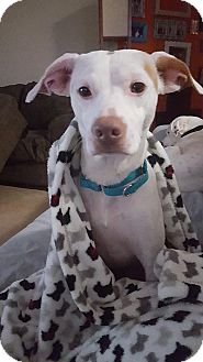 Italian Greyhound Mix Dog for adoption in North Brunswick, New Jersey - jesse