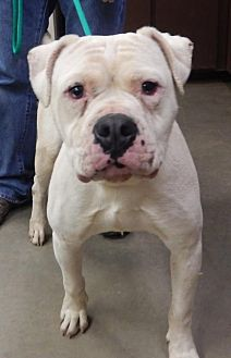 American Bulldog Dog for adoption in Amarillo, Texas - Diesel