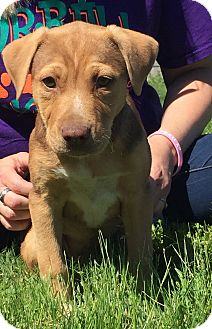 Pit Bull Terrier/Labrador Retriever Mix Puppy for adoption in Brattleboro, Vermont - Emi