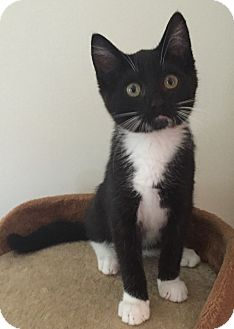 Domestic Shorthair Kitten for adoption in Wayne, New Jersey - Lincoln