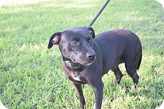 Boston Terrier/Labrador Retriever Mix Dog for adoption in Beaumont, Texas - EDEN