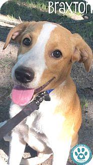 Hound (Unknown Type) Mix Puppy for adoption in Kimberton, Pennsylvania - Braxton