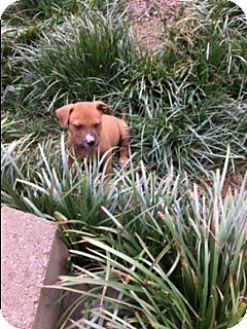 Pit Bull Terrier/Boxer Mix Puppy for adoption in Allentown, Pennsylvania - Mango (ETAA)