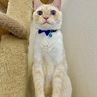 Siamese Cat for adoption in Austin, Texas - Nick