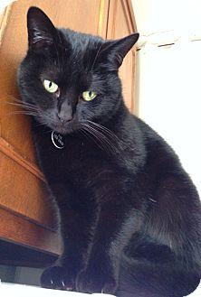 Domestic Shorthair Cat for adoption in Novato, California - Boo