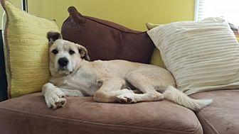 Australian Shepherd Mix Dog for adoption in Rockville, Maryland - Camo