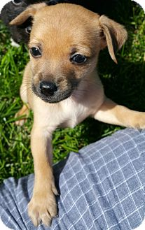 Shih Tzu/Chihuahua Mix Puppy for adoption in Schaumburg, Illinois - Copper-adoption pending