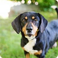 Adopt A Pet :: Gretel - Armonk, NY