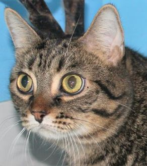 Domestic Shorthair/Domestic Shorthair Mix Cat for adoption in Robinson, Illinois - Tooties