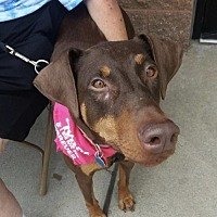 Doberman Pinscher Dog for adoption in Minneapolis, Minnesota - Lillana
