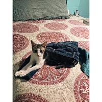 Domestic Shorthair Kitten for adoption in Columbus, Ohio - Milo