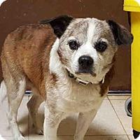 Adopt A Pet :: BOGEY - Rogers, AR