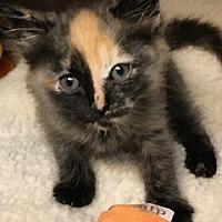 Adopt A Pet :: Lemonade - New York, NY