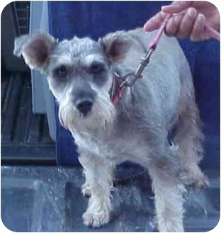 Miniature Schnauzer Mix Dog for adoption in Spring Valley, California - Molly