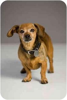 Dachshund Dog for adoption in Portland, Oregon - Penny Lane