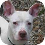 American Pit Bull Terrier/American Pit Bull Terrier Mix Dog for adoption in Peoria, Illinois - Kylix