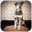 Photo 2 - Chesapeake Bay Retriever/Doberman Pinscher Mix Dog for adoption in Portland, Oregon - Bones